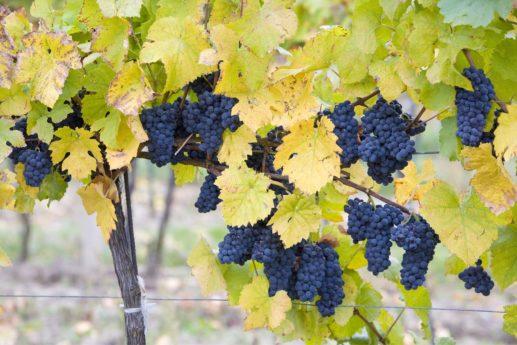 Czy uprawa winogron w Polsce się opłaca?